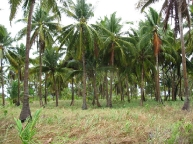 Crazy coconut trees