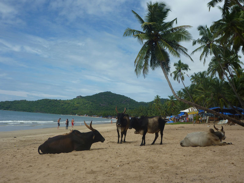 Cows relaxing on the beach