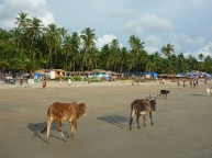 Cows at the beach