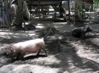 malapascua.logon.pig.farming.jpg