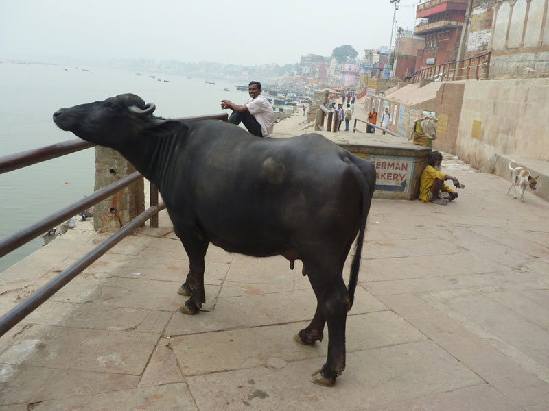 Cow-enjoying-some-sightseei