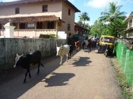 Cows in Agonda