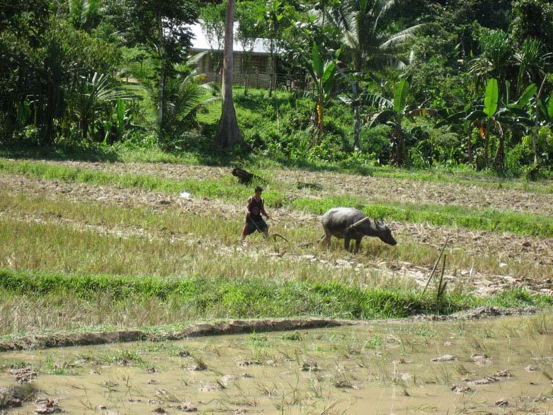 Rice farming with carabao