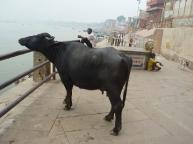 Cow-enjoying-some-sightseei