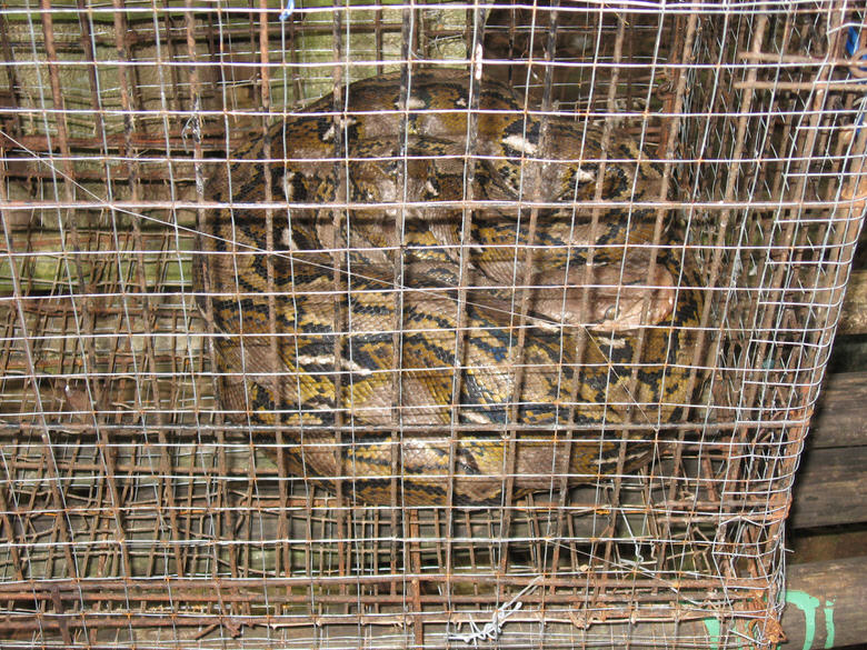 boa in cage panglao zoo
