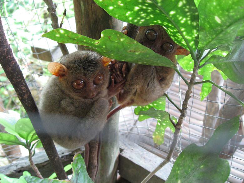 Here is a cute little tarsier couple