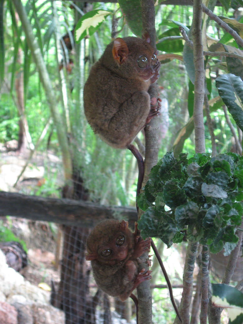 The two small tarsiers