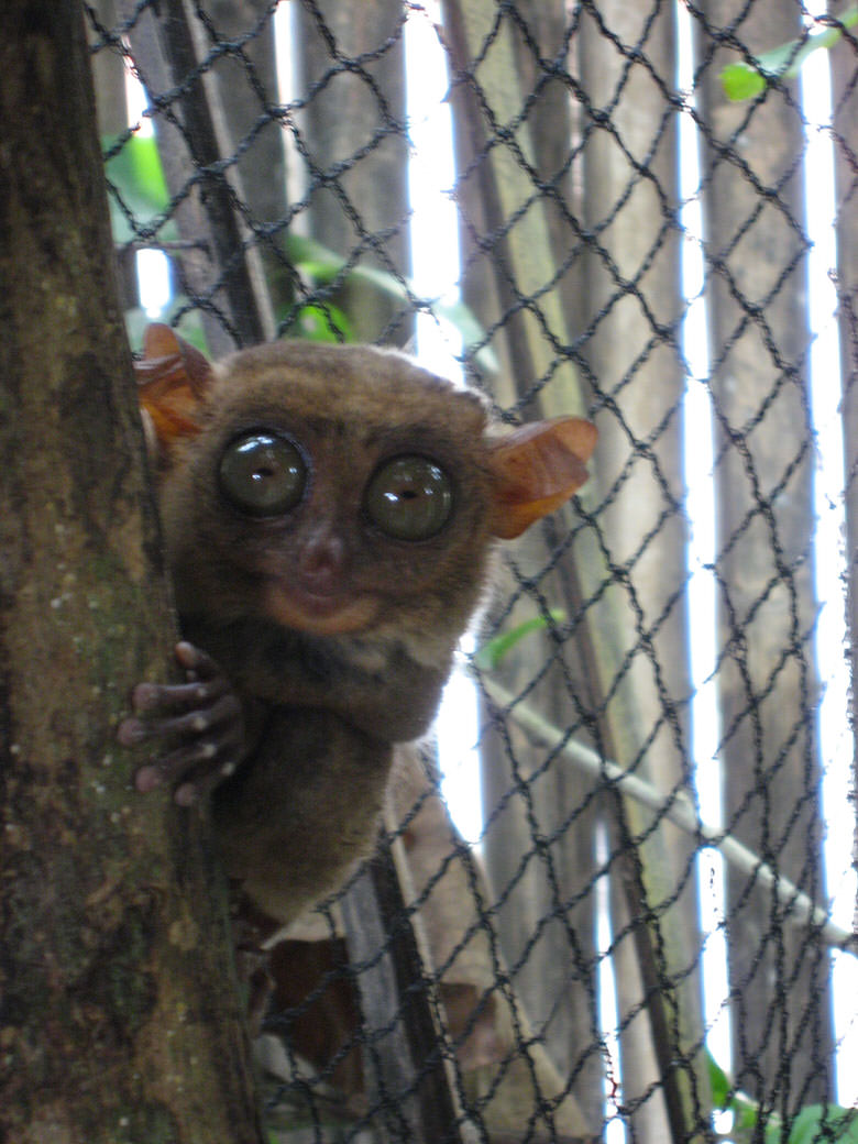 Each one of these little tarsier creatures eye is in fact bigger than its brain