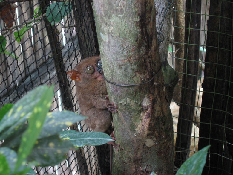Tarsier Not too lively during the day as they are active at night only
